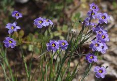 Sisyrinchium bellum, Blue-Eyed Grass - and other wildflowers of the Berkeley Hills