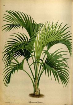 Kentia Palm - Howea belmoreana - circa 1871 - Endemic to Lord Howe Island in the Tasman Sea between Australia and New Zealand
