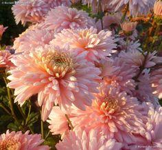 Chrysanthemum 'Sweetheart Pink'
