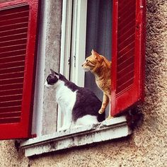 red shutters and kitties Cute Kitten Pics, Kittens Cutest, Cats And Kittens, Crazy Cat Lady, Crazy Cats, Funny Cat Videos, Funny Cats, I Love Cats, Cool Cats