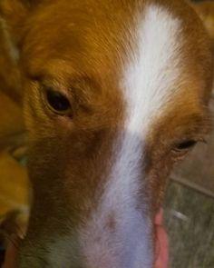 Aidan #dog #dogs #dogoftheday #dogsofinstagram #instadog #instagramdog #instagramdogs #pet #pets #petoftheday #petsofinstagram #instapet #instagrampet #instagrampets #bordercollie #aussie #redheeler #bordercolliesofinstagram #austrailianshepherd #ilovemydog #seattledog #marketingassistant #cattledog #cattledoglove