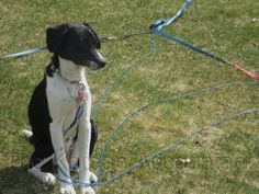 Natasha, the hound lab dog, in her gargoyle position.