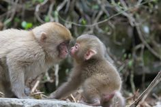 Kiss to the sister Cute Monkey, Primates, Monkeys, Babys, Baby Animals, Sisters, Kiss, Animals, Mothers Love