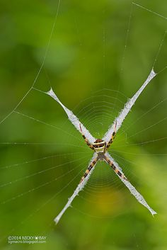 St Andrew's cross spider (Argiope sp.)