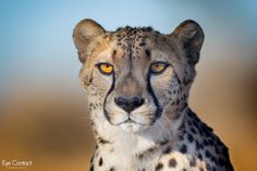 Cheetah+portrait+-+null
