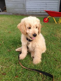 Adorable goldendoodle only 9 weeks :-) Love him sooooooo much <3