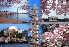 Washington DC when the Cherry Blossoms are bloomin!