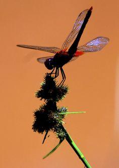 En fotos, las libélulas. Estudios recientes han demostrado que existen más de 5 mil especies de ellas, con variados colores y tamaños. Estos insectos son inofensivos para el ser humano; no pican ni muerden y son uno de los principales predadores del mosquito.
