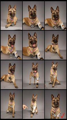 "NEW Police Dog German Shepherd Handsome Service K9 3/"" Full K9 Regalia Uniform"