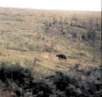 The Black Beast of Exmoor is a cryptid that is reported to roam the fields of Exmoor in the England. Sightings were first reported in the 1970s, although it became notorious in 1983, when a South Molton farmer claimed to have lost over 100 sheep in the space of three months, all of them by violent throat injuries. It's possibly a cougar or black leopard which was released sometime in the 1960s or '70s after a law was passed making it illegal for them to be kept in captivity outside zoos.