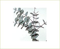 Cinerea - Eucalyptus - Greens, Foliages and Branches - Flowers by category | Sierra Flower Finder