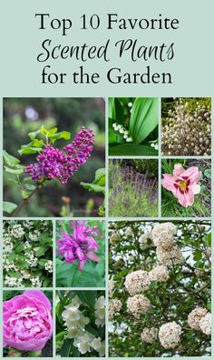 Learn about 10 favorite scented plants including shrubs and perennials, and how you can easily grow them in your own garden.