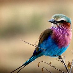 Lilac Breasted Roller  <3