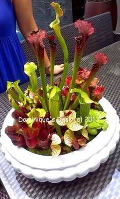 Carnivorous Plants. I love all the different types of sarrecenia in one pot.