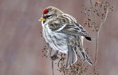 Iidesjärven lintuja: urpiainen Serin, Pretty Birds, Sketching, Natural Beauty, Wildlife, Models, Nature, Animals, Birds