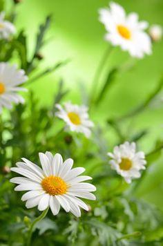 Blüten der Margerite