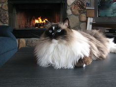 Seal mitted Ragdoll Seal mitted Ragdoll cat with a blaze. Kittens Cutest, Cats And Kittens, Cute Cats, Cats Meowing, Siamese Cats, Funny Cats, Funny Cat Videos, Funny Cat Pictures, Animals And Pets