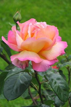 Chicago Peace Rose - One of my favorite roses..!!