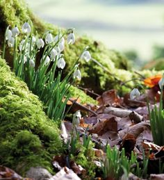 Buy Snowdrop Collection for Naturalising from Sarah Raven: All of these snowdrops have been awarded the AGM and it's easy to see why. Plant your snowdrops for flowers in succession from January to late March. Home Flowers, Bulb Flowers, Hardy Perennials, Spring Bulbs, Types Of Soil, Indoor Plants, Shrubs, Tulips, Harvest