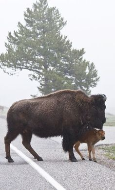 A young bison calve's coat is a light reddish brown and they don't have the distinctive hump that the adult bison have. After a few months they begin to turn brown and grow a hump.