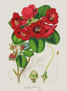 Antique Prints from Louis Van Houtte 1845