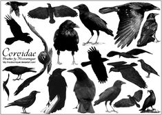 Google Image Result for http://fc07.deviantart.net/fs10/i/2006/104/d/f/Corvidae____Ravens__N__Crows_by_Noctourniquet.png