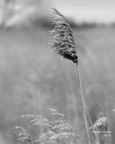 DAG 76: FEATHER REED GRASS Project 4.12.365 #photography #fotografie #zeeuw #reed #environment #zeeland #natural
