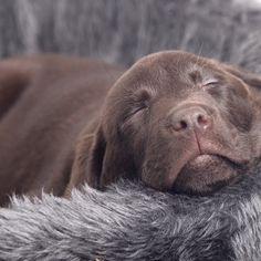 Brown lab labrador puppy choco bruine labrador Dorus #labradorretriever