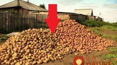 Zemiaky sadím každý rok podľa tejto rady a úroda ako z obrázka: Kto chce tento rok zdvojnásobiť úrodu zemiakov, nech si prečíta toto!