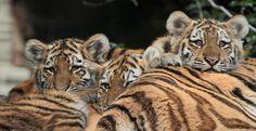 siberische tijger amersfoort IMG_0046 | by j.a.kok