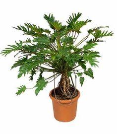 Aparte en grote kamerplanten | Chicplants