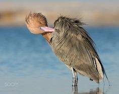 Feather Fussing - Reddish Egret grooming his feathers, perhaps to impress his Valentine?  Thanks for looking!