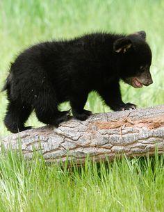 Photo by Lynn ChamberlainYou can find Bear cubs and more on our website. Photo by Lynn Chamberlain Bear Cubs, Panda Bear, Polar Bear, Grizzly Bears, Tiger Cubs, Tiger Tiger, Cute Baby Animals, Animals And Pets, Wild Animals