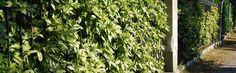 Aucuba japonica - Japanse Broodboom