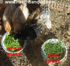 grass feeding chickens - Google Search