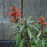Isoplexis chalcantha| plant lust