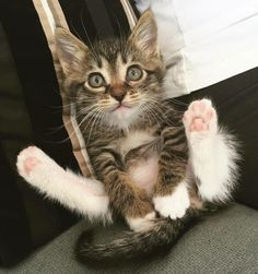 Kittens are adorable and as our kitties grow its impossible to not love them more and more. They are kittens for such a short amount of time so enjoy those little furry babies. I Love Cats, Crazy Cats, Cool Cats, Cute Kittens, Ragdoll Kittens, Bengal Cats, Baby Animals, Funny Animals, Cute Animals