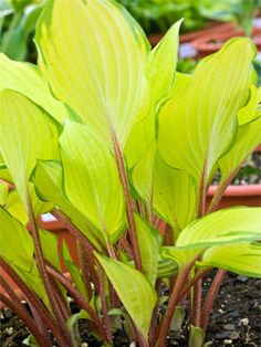 Hosta 'Paradise Island' - Pictures don't do this hosta justice. It has great red petioles, and chartreuse leaves with a thin green margin.