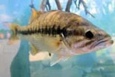 Kentucky State Fish - Kentucky Spotted Bass