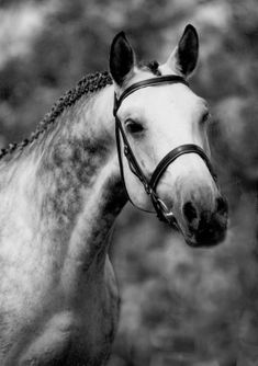 Dappled grey trakehner stallion.