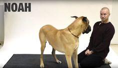 犬たちは人がする鳴き真似にどう反応するか動画