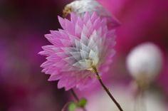 rhodanthe manglesii  very pretty looks like a tissue paper flower!