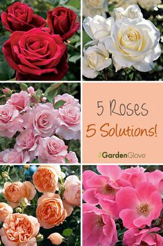 5 Roses Solutions
