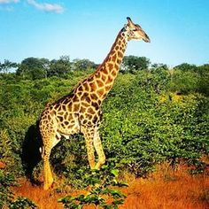 #africa, #giraffe, #victoriafalls, #safari, #wildlife, #zimbabwe por: llanito77