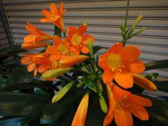 今年もオレンジ鮮やかな君子蘭  Ooe-office,atelie 2014/04/22