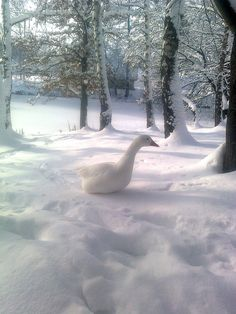 Lonely Goose In the Snow