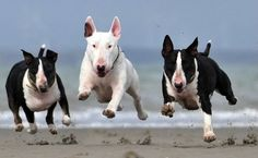 They really do enjoy being packed up like this. All 4 of mine will run as hard as they can bouncing off each other without a giving it a second's thought..  bull terriers :)