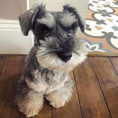 Mini Schnauzer Puppies, Miniature Schnauzer, Cute Puppies, Cute Dogs, Dogs And Puppies, Cute Love Gif, Bearded Collie, Westies, Dog Lovers