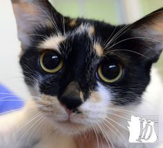 Barbie is a 6-12 month old calico cat.  She was a stray from Fairview Township.  She gets along with other cats and is litter trained.  Bill Kalina photo bkalina@yorkdispatch.com