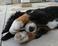 My favorite dog pose..and it doesnt get any cuter than on a tiny bernese Mountain Dog with big ole paws!!